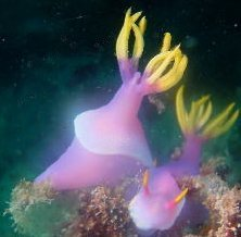 Nudibranch - image by Andrew Kemp